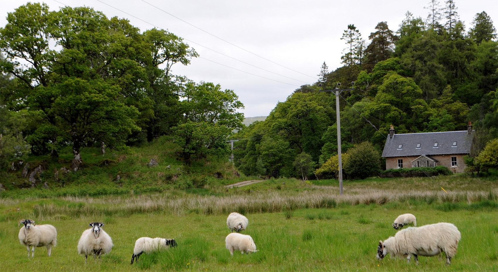 Sheep at Ardtornish
