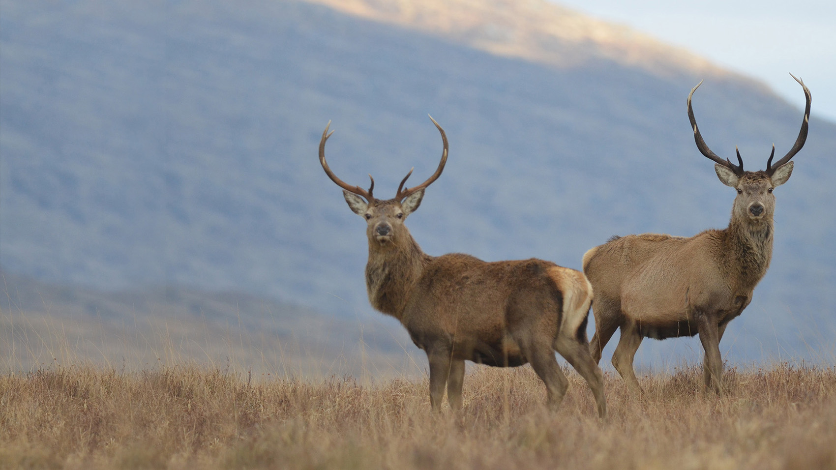 Red deer Ardtornish