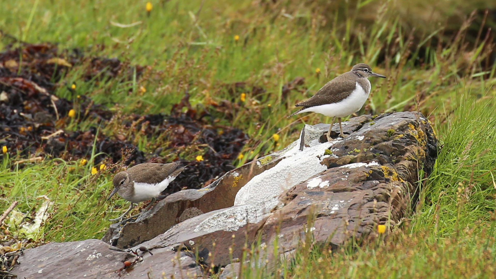 sandpipers on Ardtornish Estate